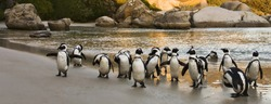 African Penguins on Boulders Beach, Cape Town, South Africa
