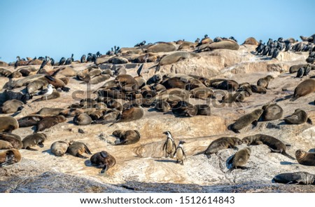 African penguins on Seal Island. Seal Island, located in False Bay near SImon's Town. South African (Cape) fur seals (Arctocephalus pusillus pusillus),  False Bay, Western Cape, South Africa, Africa