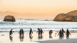African penguins on the sandy coast in sunset. Red sky. African penguin ( Spheniscus demersus) also known as the jackass penguin and black-footed penguin. Boulders colony. Cape Town. South Africa
