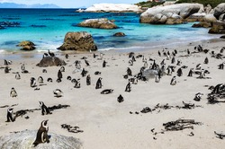 African penguins or Black-footed penguin - Spheniscus demersus - at the Boulders Beach, Cape Town, South Africa