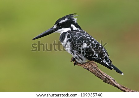 African Kingfisher African Pied Kingfisher Bird