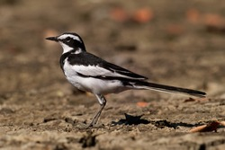 African Pied Wagtail - Motacilla aguimp species of bird in the family Motacillidae, striking black and white wagtail with black upperparts, found in sub-Saharan Africa.