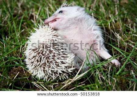 African pigmy hedgehog grooming itself on a grass