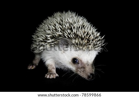 African pigmy hedgehog on black