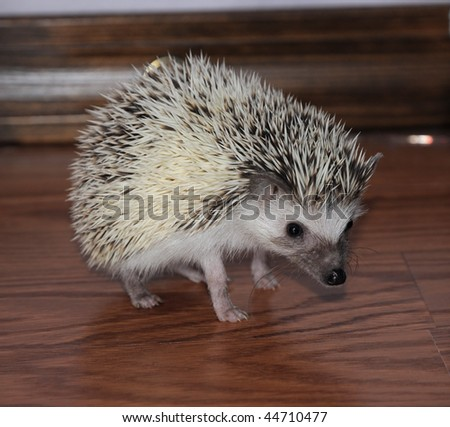 African pigmy hedgehog staying cautiously on a wooden floor