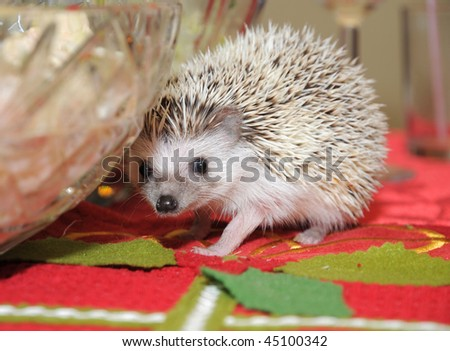 African pigmy hedgehog wandering around a salad bowl on a dining table