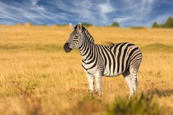 african plains zebra on the dry brown savannah grasslands browsing and grazing. focus is on the zebra with the background blurred, the animal is vigilant while it feeds
