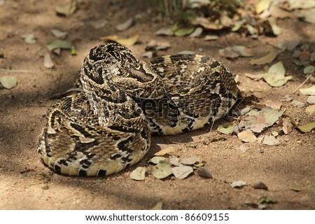 African Puff Adder Viper