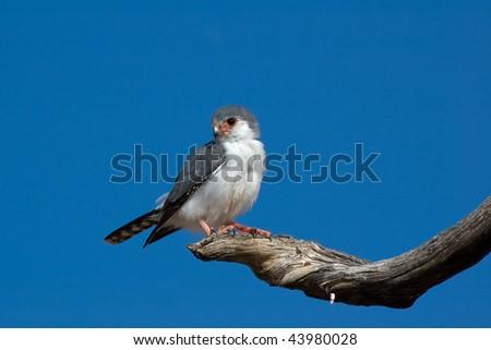 African Pygmy Falcon (Polihierax semitorquatus) Kgalagadi Transfortier Park, South Africa