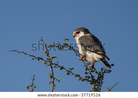African pygmy falcon - squatter of the sociable weavers' nests