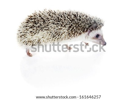 African pygmy hedgehog (Atelerix albiventris) wanders on a white background