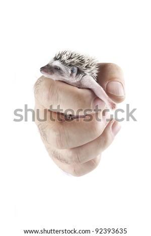 african pygmy hedgehog in hand