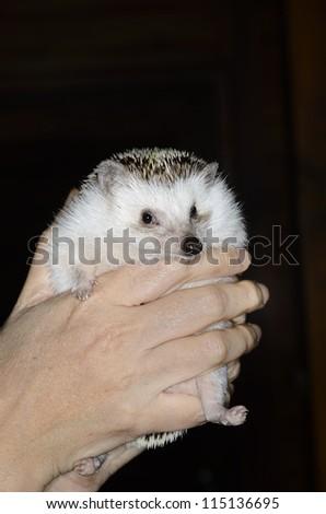 african pygmy hedgehog in hands