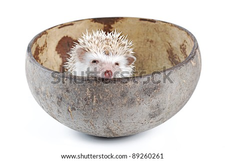 african pygmy hedgehog in inner coconut shell