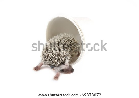 african pygmy hedgehog in white paper cup