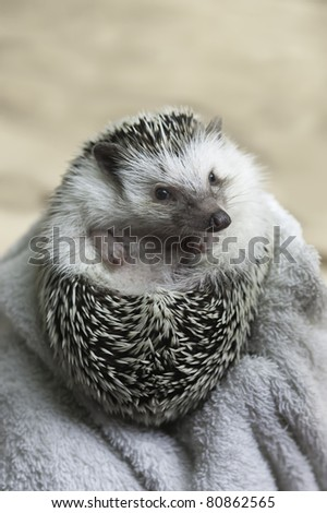 african pygmy hedgehog on defense mode