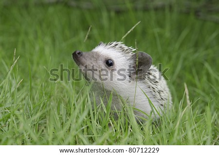 african pygmy hedgehog on grass