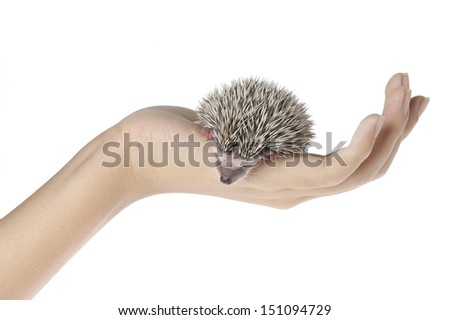african pygmy hedgehog on hand