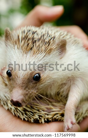 African pygmy hedgehog on hand holding
