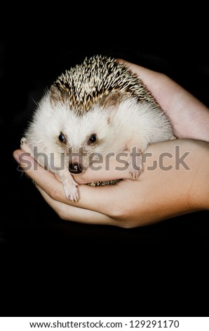 african pygmy hedgehog on hands - stock photo