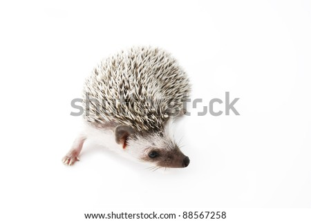 african pygmy hedgehog on white