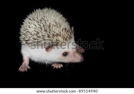 african pygmy hedghog