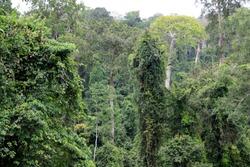 African Rainforest at the Kakum National Park near Cape Coast, Ghana
