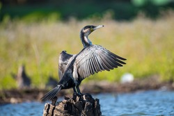 African Reed Cormorant From Lake Naivasha