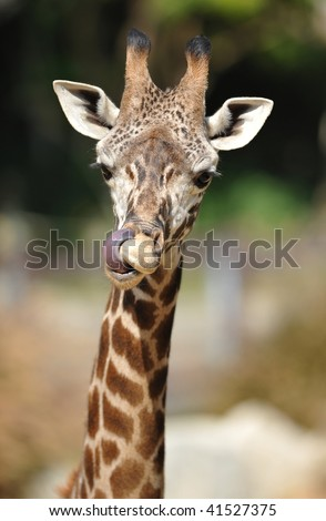 african reticulate giraffe male juvenile licking nose with tongue