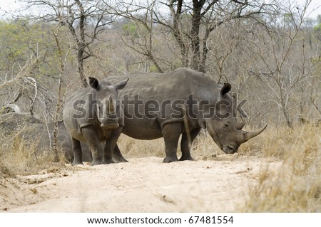African Rhino with young