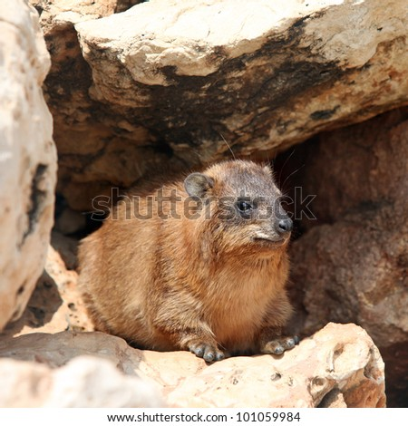 African Rock Hyrak (Procavia capensis) on a rock in South Africa.