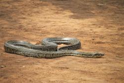 African rock python (Python sebae) in Tanzania
