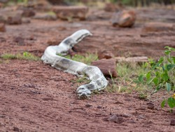 African rock python slithering across the road