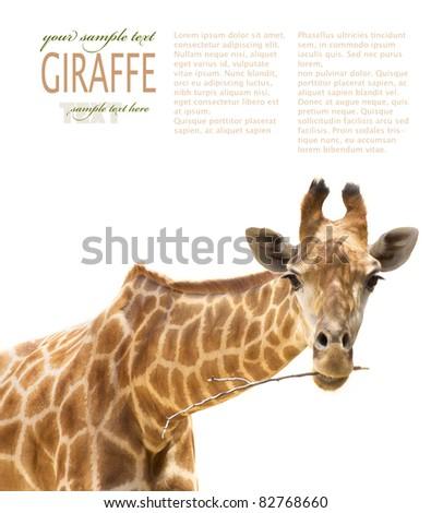 African Safari Close up shot of giraffe chewing a branch.