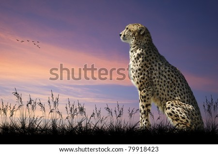 African safari concept image of cheetah looking out over savannah with beautiful sunset sky
