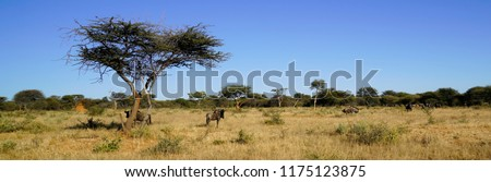 African savanna landscape with dry yellow grass, blue wildebeest herd, and green acacia tree under clear blue sky at Okonjima Nature Reserve, Namibia, Africa.