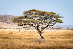 African savanna trees Serengeti National Park