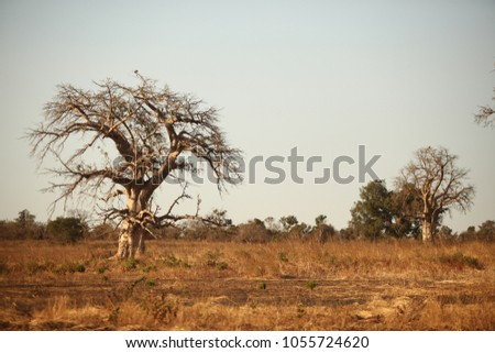 african savannah - big baobab tree growing on a dry grass, with light blue sky in the background, in natural sunlight in Gambia, Africa