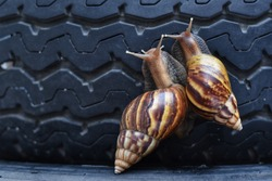 African snail crawling on the background of wheels, black tires Achatina fulica.