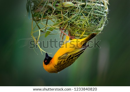 African southern masked weaver, Ploceus velatus, build the green grass nest. Yellow birds with black head with red eye, animal behaviour in the habitat. Wildlife scene from nature, Etosha NP, Namibia.