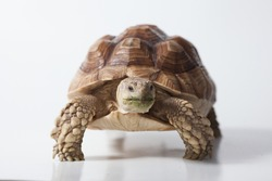 African species of tortoise (Centrochelys sulcata) on white background isolated