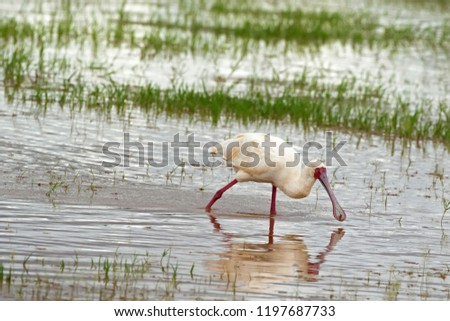 African Spoonbill, wading bird with red spoon shaped bill, face, legs feeding in shallow water at Lake Manyara, Tanzania, East Africa (Platalea alba) #1197687733