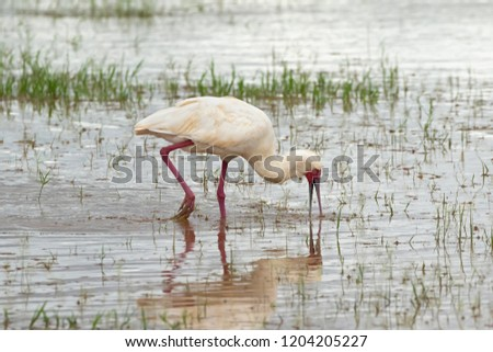 African Spoonbill, wading bird with red spoon shaped bill, face, legs feeding in shallow water at Lake Manyara, Tanzania, East Africa (Platalea alba) #1204205227