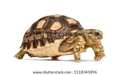 African spurred tortoise, Centrochelys sulcata, also called the sulcata tortoise, in front of white background Stock photo ©