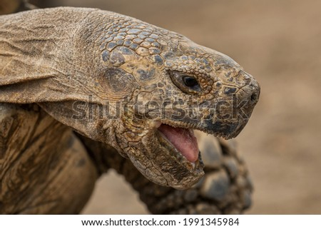 African Spurred Tortoise - Centrochelys sulcata, large tortoise from African bushes, woodlands and grasslands, lake Langano, Ethiopia. Stock photo ©