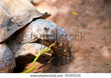 African spurred tortoise (Geochelone sulcata), also called the African spur thigh tortoise  or the sulcata tortoise, is a species of tortoise which inhabits the southern edge of the Sahara desert .