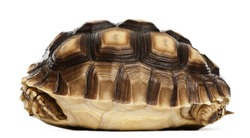 African Spurred Tortoise, Geochelone sulcata, 1 year old, in front of white background