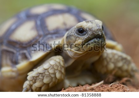 African Spurred Tortoise (Geochelone sulfate)