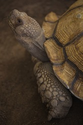 African spurred tortoise in zoo.
