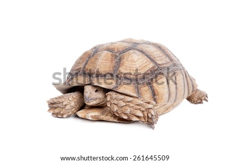 African Spurred Tortoise on white  #261645509